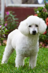 french-poodle-mini-toy